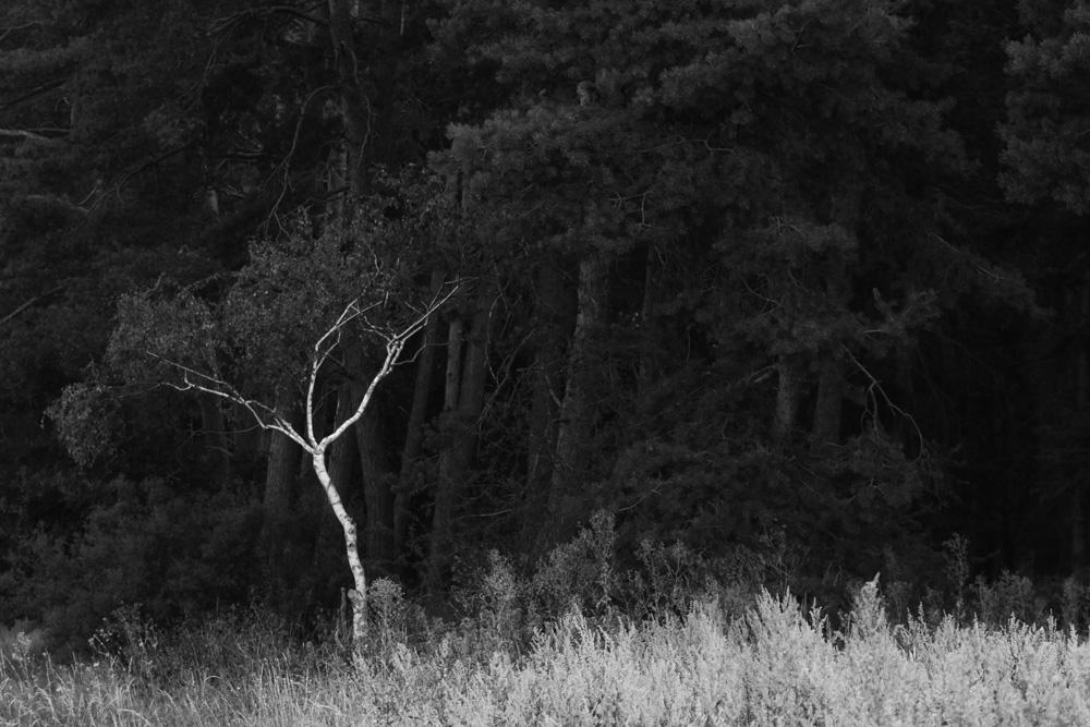 Birke vor Kiefernwald